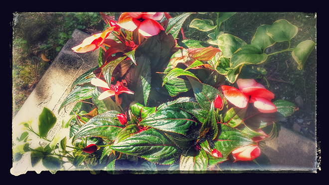 new guinea impatiens (c) in medias res by Melinda Kucsera