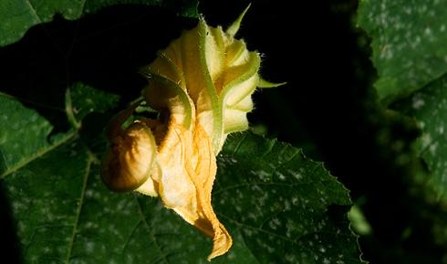 Squash Blossom (c) in medias res by Melinda Kucsera