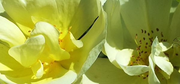 Yellow flower (c) in medias res by Melinda Kucsera